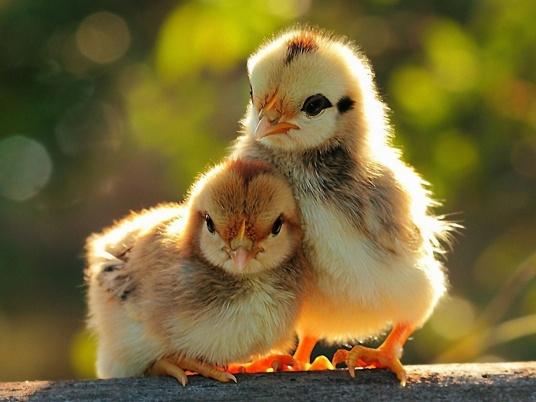 Yellow-Chicken-1280x960