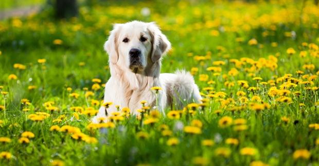 cane_fiori