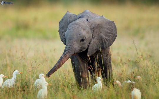 elefantino-161619